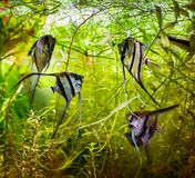 Angelfish Pterophyllum scalare Στοκ φωτογραφία με δικαίωμα ελεύθερης χρήσης
