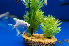 Angelfish Pterophyllum scalare Στοκ Εικόνες