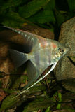 Angelfish (Pterophyllum scalare). In the fish tank Stock Photography
