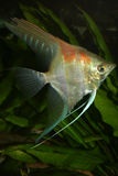 angelfish pterophyllum scalare Στοκ Εικόνες
