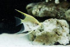 Angelfish (Pterophyllum scalare) Στοκ φωτογραφίες με δικαίωμα ελεύθερης χρήσης