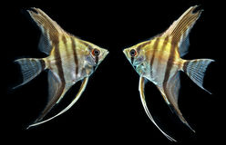 Angelfish (Pterophyllum scalare) Obrazy Royalty Free