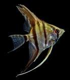 Angelfish (Pterophyllum scalare) Στοκ Εικόνες