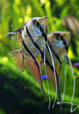 Angelfish Pterophyllum scalare Obrazy Stock
