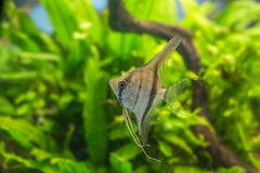 Angelfish Pterophyllum scalare Στοκ Εικόνα