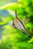 Angelfish Pterophyllum scalare Στοκ εικόνα με δικαίωμα ελεύθερης χρήσης
