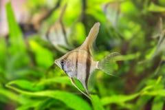 Angelfish Pterophyllum scalare Στοκ εικόνες με δικαίωμα ελεύθερης χρήσης