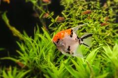 Angelfish (Pterophyllum scalare) Στοκ Φωτογραφία