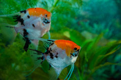 Angelfish Pterophyllum scalare Στοκ Φωτογραφία