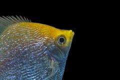 Angelfish Pterophyllum scalare Obraz Stock