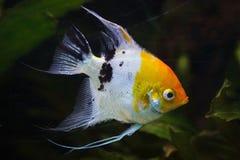 Angelfish Pterophyllum scalare royalty free stock image