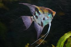 Angelfish Pterophyllum scalare royalty free stock photography