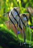 Angelfish Pterophyllum scalare Stock Images