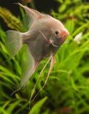 Angelfish (Pterophyllum scalare) Stock Image