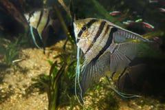 Angelfish Pterophyllum scalare Stock Photos