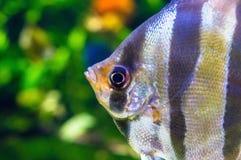 Angelfish - Pterophyllum scalare in aquarium Stock Images