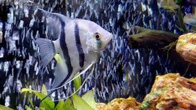 An Angelfish - Pterophyllum scalare in aquarium Stock Photos