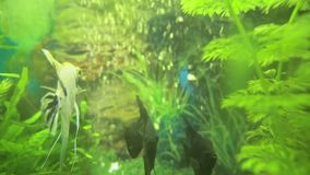 Angelfish Pterophyllum scalare in aquarium fish black and white color. Aquarium fish are swimming stock footage