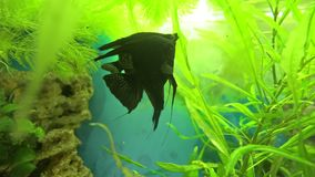 Angelfish Pterophyllum scalare in aquarium fish black and white color. Aquarium fish are swimming stock video footage