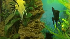 Angelfish Pterophyllum scalare in aquarium fish black and white color. Aquarium fish are swimming stock footage