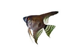 Angelfish pterophyllum scalare aquarium fish Royalty Free Stock Photos