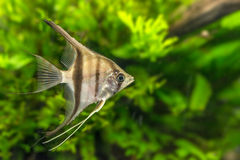 Angelfish Pterophyllum scalare Royalty Free Stock Images