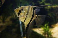 Angelfish Pterophyllum scalare Royalty Free Stock Photos
