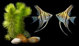 Angelfish Pterophyllum scalare Stock Images