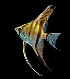 Angelfish (Pterophyllum scalare) Stock Image