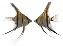 Angelfish (Pterophyllum scalare) Stock Photos