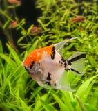 Angelfish (Pterophyllum scalare) Royalty Free Stock Images