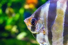 Angelfish - Pterophyllum scalare w akwarium Obrazy Stock