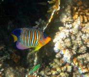 Angelfish real Imágenes de archivo libres de regalías