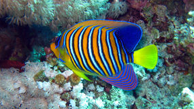 Angelfish reale o regale, diacanthus di Pygoplites Fotografia Stock
