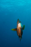 Angelfish Stock Image