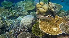 Angelfish regale Immagini Stock