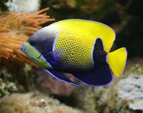 Angelfish rodeado azul 2 Fotos de archivo