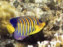 Angelfish royal photographie stock