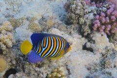Angelfish royal Photo libre de droits