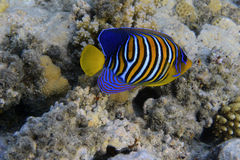 Angelfish royal Photo stock
