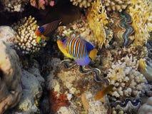 Angelfish royal Image libre de droits