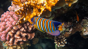 Angelfish. Royal Angelfish in the Coral Reef, Red Sea stock images