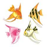 Angelfish ryba Fotografia Stock
