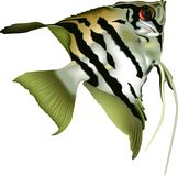 Angelfish scalare Royalty Free Stock Photo