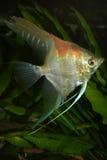 Angelfish (scalare de Pterophyllum) Foto de Stock