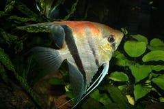 Angelfish (scalare de Pterophyllum) Fotografia de Stock