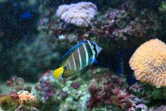 angelfish sixbar Στοκ εικόνες με δικαίωμα ελεύθερης χρήσης