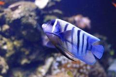 angelfish sixbar Στοκ φωτογραφίες με δικαίωμα ελεύθερης χρήσης