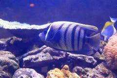 angelfish sixbar Στοκ Φωτογραφία