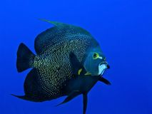 Angelfish swimming royalty free stock images